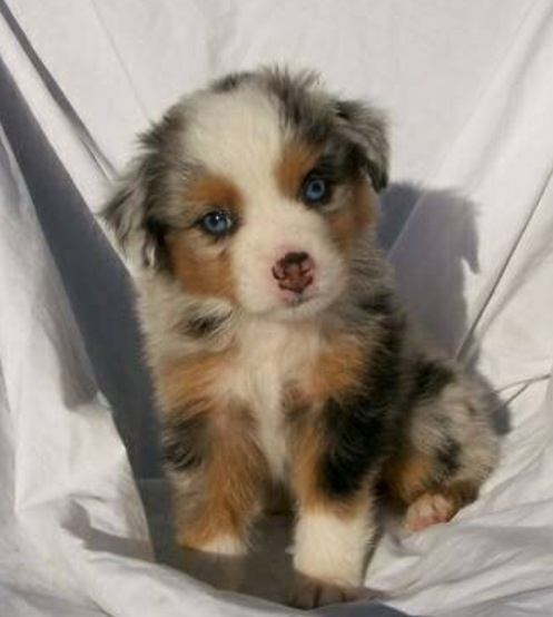 Blue Merle border collie so cute