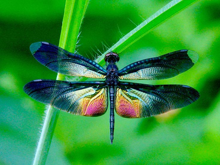 Dragonfly | EzGro Garden