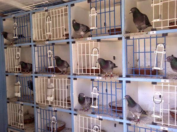 coleccion crianza palomas mensajeras - Buscar con Google