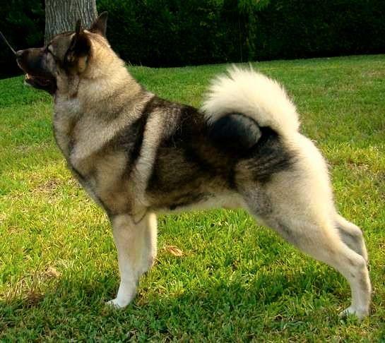 Elkhound, el perro artico noruego y sueco