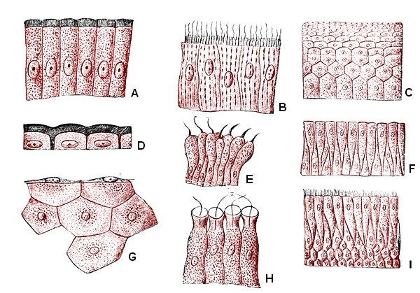 1. A - simple columnar epithelium.     2. B - simple columnar epithelium with cilia.     3. C - stratified squamous epithelium.     4. D - simple squamous epithelium.     5. E - transitional epithelium.     6. F - pseudostratified epithelium.     7. G - cuboidal epithelium.     8. H - choanocytes     9. I - stratified columnar epithelium with cilia.