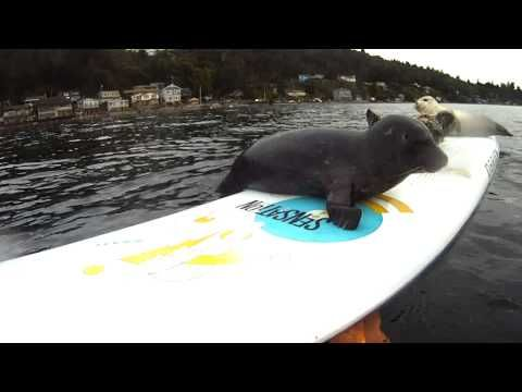 """From the videographer: """"Newly weaned harbor seal pups make use of my old windsurf board.  I mounted a remote GoPro camera and these posers seemed to know exactly where to perform!  It had rained that morning and the slip n' slide ensued.  These condensed clips occured over a period of about 30 minutes.""""    Location:  3 Tree Point on Puget Sound, Washington State, USA"""