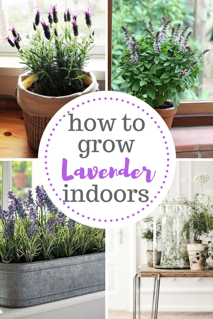 Dreaming of growing lavender indoors? It's possible with this indoor gardening guide!
