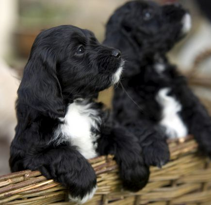 Gorgeous sprockerpoo puppies