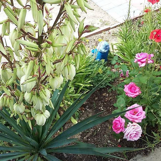#юкка такое необычное растение и столько колокольчиков на нем.. #цветы #flowers