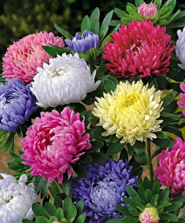 China Asters - Mixed | Seeds from Bakker Spalding Garden Company