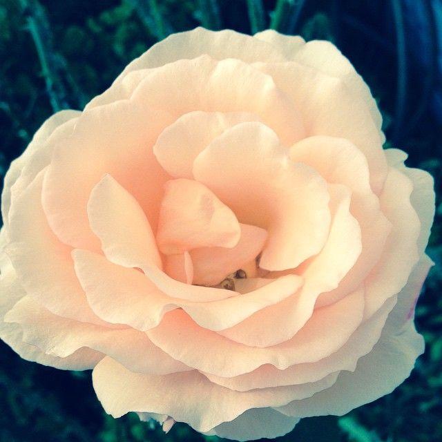 #beauty #flower #blossom #pink #white #soft #happy #life #joy #appreciate