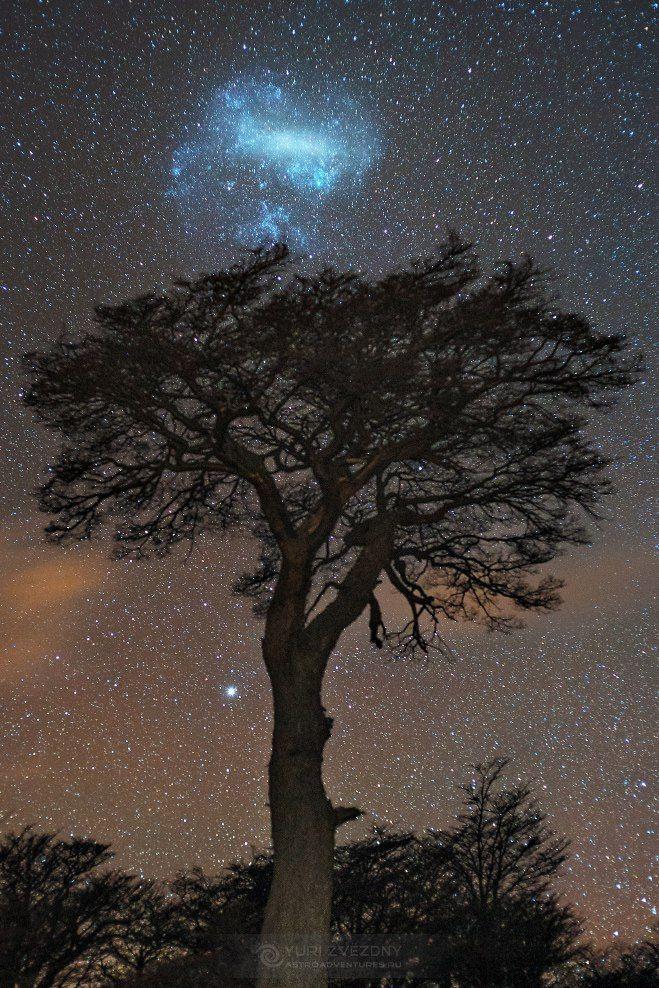Большое Магелланово Облако над кроной Южного бука. Снято в Патагонии в национальном парке Лос-Гласьярес, Аргентина. Автор: Юрец Звёздный