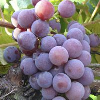 Catawba is a spicy flavored, red slip-skin grape. Clusters are medium to large and well formed, fruit is medium sized, round and purplish red with a distinctive flavor. The flavor is both vinous and slightly foxy. Catawba is a very good table grape, excellent for jams and jellies, and often used for wine and sweet sparkling wine. Catawba has been grown in the eastern United States for over 150 years and was the major variety used for winemaking in Ohio prior to prohibition.