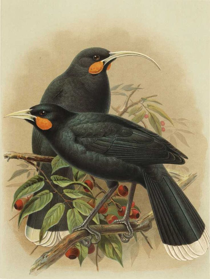 rhamphotheca:    slang-king: Huia    Painting by J.G. Keulemans from W.L. Buller's A History of the Birds of New Zealand (1888)    * An extinct species of wattlebird from New Zealand. The last individual was sighted in 1922. Deforestation and over-hunting are thought to have lead to its extinction.