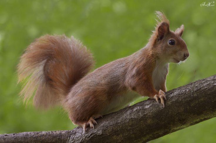 Esquilo-vermelho, red squirrel (Sciurus vulgaris) - em Liberdade  [WildLife]