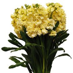 yellow stock flower - Google Search