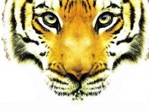Le tigre du Bengale, Inde