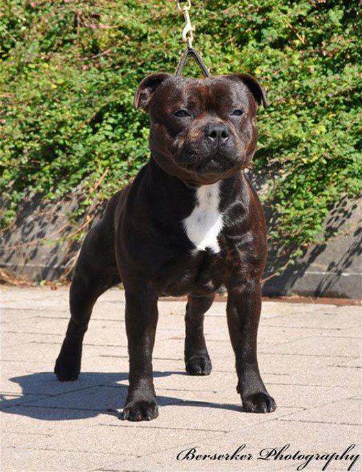Staffordshire Bull Terrier - Maxsta Bombastic Boy