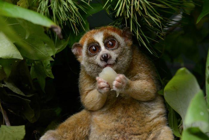 Толстые лори  Толстые лори — единственный известный род ядовитых приматов. Железы на передних конечностях этого маленького миловидного животного выделяют токсичный коктейль. Яд способен вызывать удушье и смерть как у мелких животных, так и у человека.