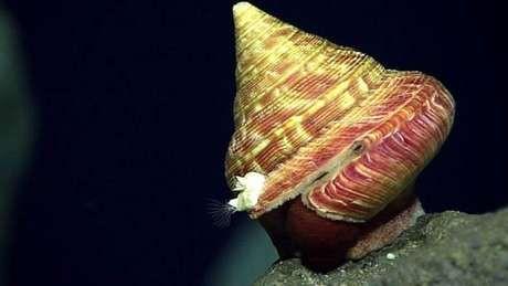 Segundo cientistas, essa lesma-do-mar é o provavlemente parte de uma nova espécie Foto: Depto. de Pesquisa e Exploração Oceânica/NOAA / BBCBrasil.com