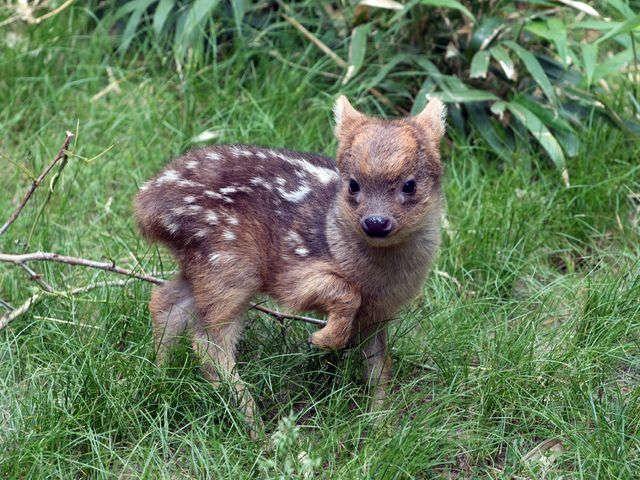 Cute alert! Meet the world's smallest deer species