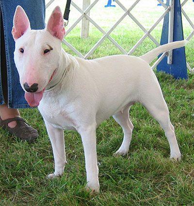 Google Image Result for http://www.dogsindepth.com/terrier_dog_breeds/images/bull_terrier_h03.jpg