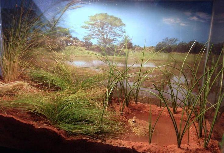 bullfrog enclosure | Naturalistic African Bullfrog setup ...