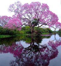 Paulownia Semillas de Bonsái Árbol de Ciprés Real Emperatriz (princesa árbol) de Más Rápido Crecimiento fragante Jardín de DIY Envío Libre(China (Mainland))