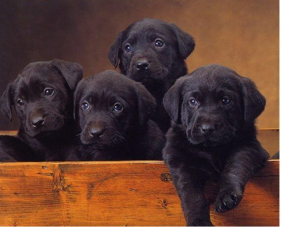 Black lab puppy??? Or yellow lab puppy?? That is the question