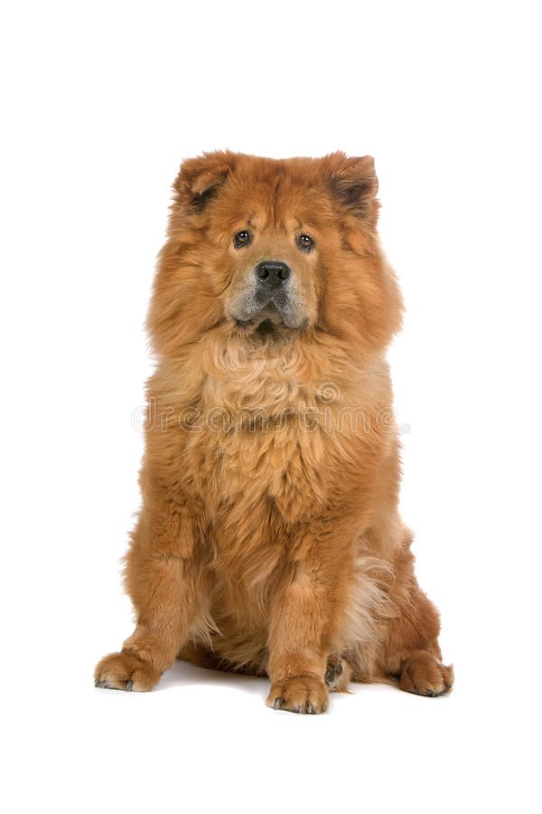 Chow Chow Dog Cute Golden Chow Chow Dog Isolated On White