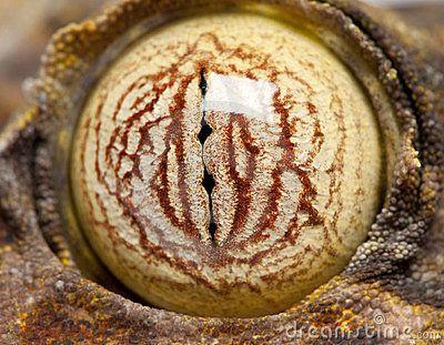 Eye on a Leaf Tailed Gecko - Uroplatus fimbriatus by Isselee, via Dreamstime