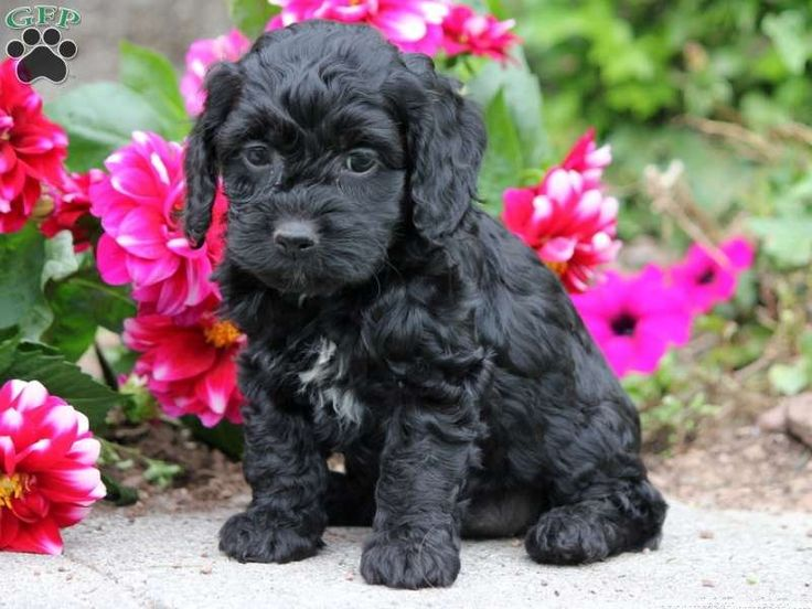 Cute Cockapoo Puppy amongst the Spring Flowers in the Park
