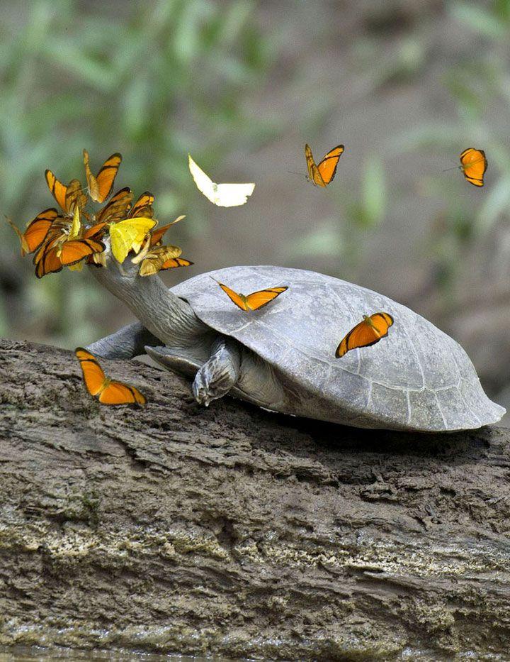 Les papillons de la forêt vierge amazonienne ont une étrange habitude: ils s'abreuvent des larmes des tortues de la région. Dans une région où la source de sodium la plus importante et la plus proche, l'océan, est éloignée de 1000 kilomètresce les papillons harcelent les tortues d'eau douce de la région pour boire leurs larmes, saturées en sodium.
