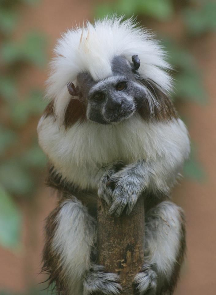 The Cotton-top Tamarin (Saguinus oedipus) is a small New World monkey weighing less than 0.5 kg (1.1 lb). One of the smallest primates, the cotton-top tamarin is easily recognized by the long white sagittal crest extending from its forehead to its shoulders. The species is found in tropical forest edges and secondary forests in northwestern Colombia where it is arboreal and diurnal