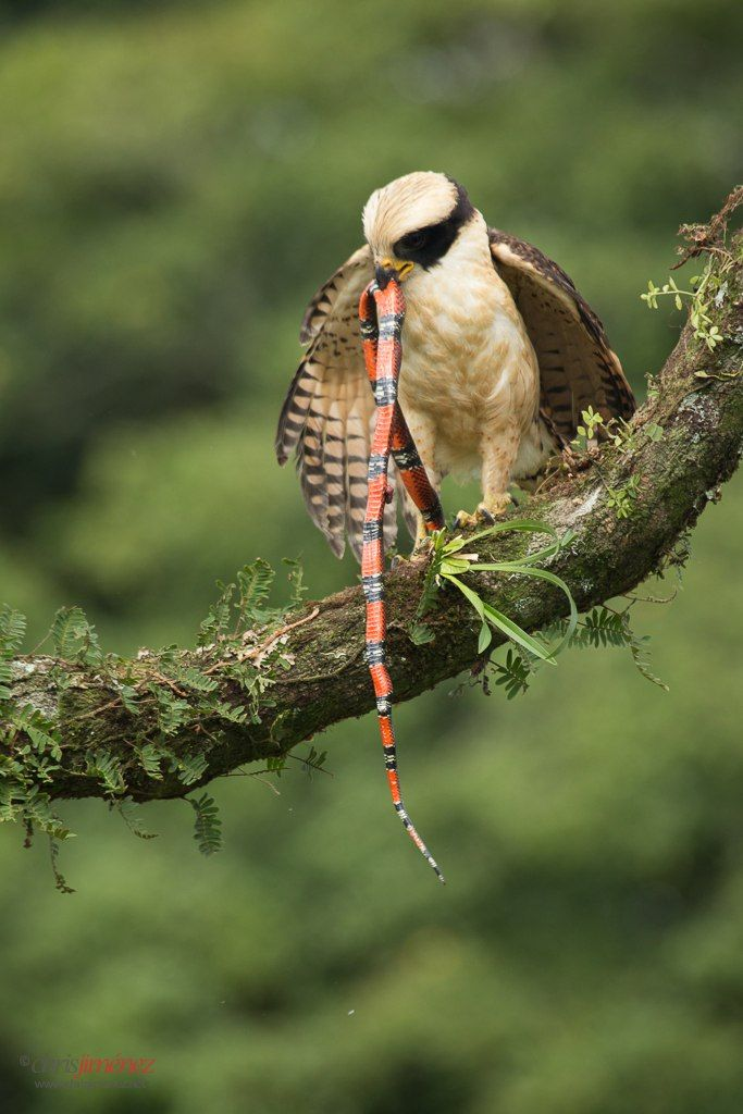 Laughing Falcon (Herpetotheres cachinnans) with snake prey
