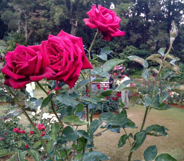 Red rose# love