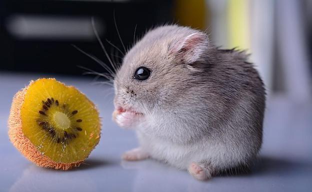 Insects Hamster Comiendo Hamster Comiendo Hamster Videollamada Meme Cosas Para Hamster Hamster Meme Corazones Funny Hamst In 2020 Hamster Cute Hamsters Animals