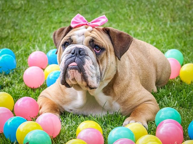 Bulldogs Do Things On Their Own Time At Their Own Speed And Only If They Want To The 10 Least Obedient Dog Breeds Dog Easter Basket Bulldog Easter Dog