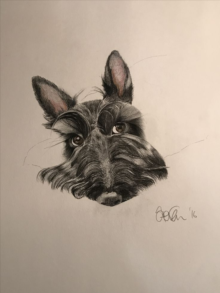 Ralph my Scottie