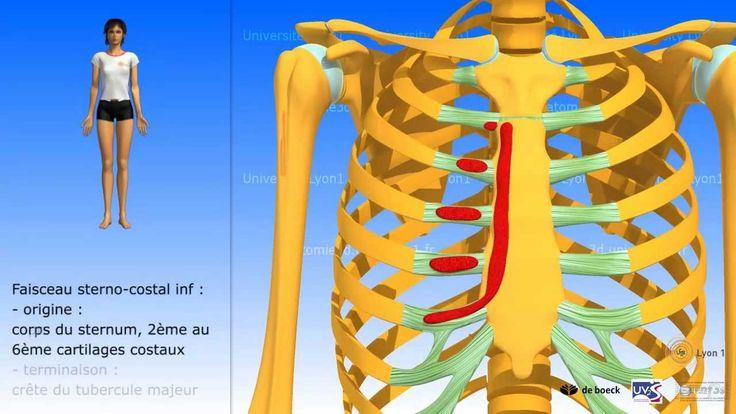 Muscle grand pectoral : description et rapports