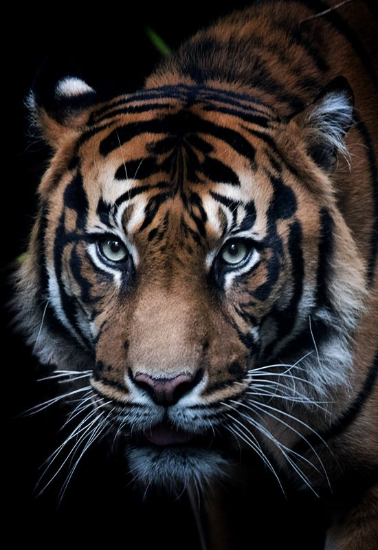 We must save this king as their are so little left in the wild, lets sing this  Royal Bengal Tiger