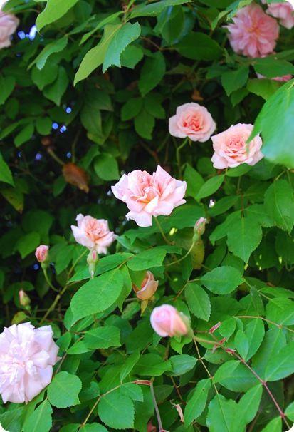 Climbing Sun Roses Part