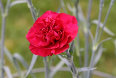 Ohio State Flower Scarlet Carnation The Beautiful State