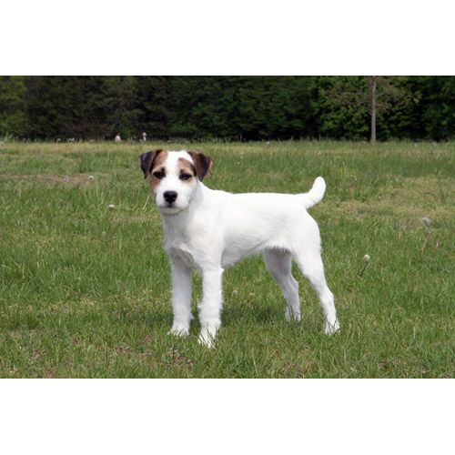 1000 images about parson terriers on pinterest parson russell terriers jack russell terriers. Black Bedroom Furniture Sets. Home Design Ideas