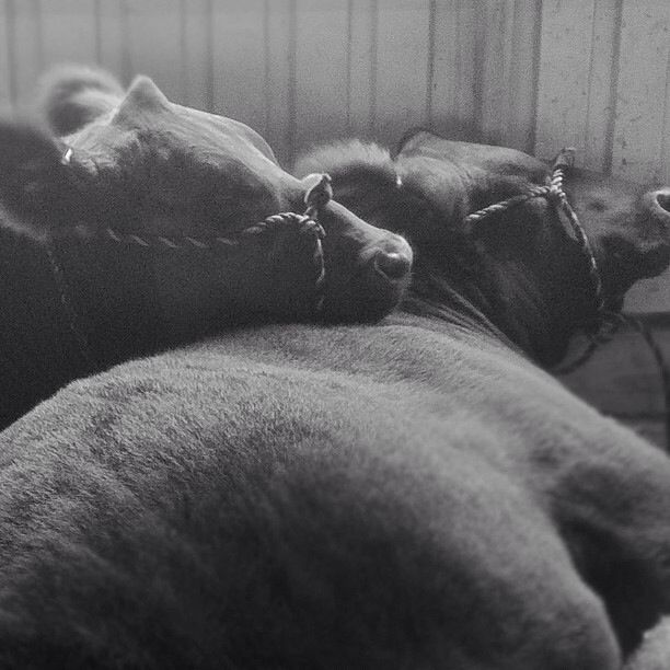 Snuggle time in the cattle barns