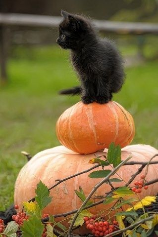 Black Kitten sitting on Pumpkins: