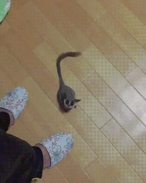 The sugar glider has developed a mutation that allows it to disable gravity for short periods of time