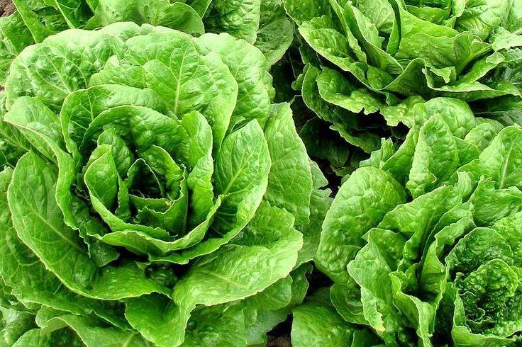 Salat pflanzen säen und ernten