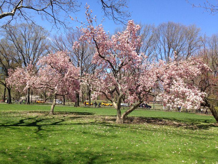 Magnolias rosas no Central Park!