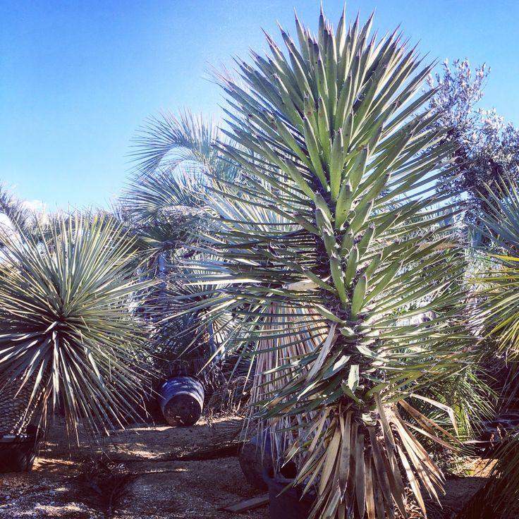 Yucca Filifera yucca cactus palmtrees