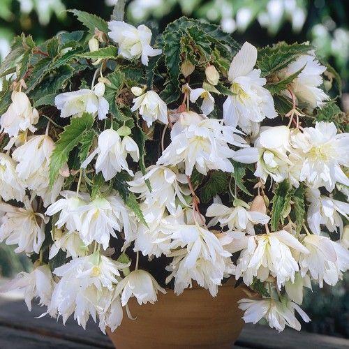 Pendula White Begonia