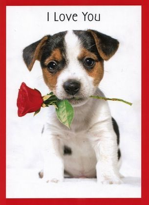 jack russell dog valentine day cards google search