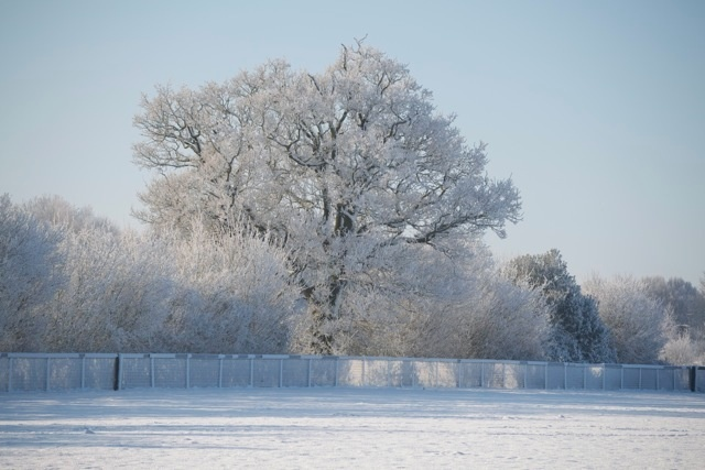 A snow covered oak tree.