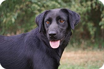 Labrador Retriever/Retriever (Unknown Type) Mix Dog for adoption in Westport, Connecticut - Muffy was found under a bridge with her BFF Buffy & they should be adopted together.